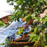 Chuyện về những nông dân trồng cà phê Robusta hạnh phúc nhất Việt Nam